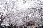 小松川千本桜まつり