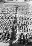ハボタン畑